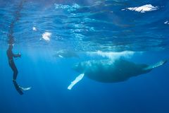 Photographer and Humpback Whales in Blue Water. Humpback whales, Megaptera novaeangliae, swim in the clear blue waters of the Caribbean. Atlantic Humpbacks spend royalty free stock image