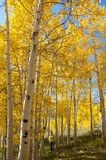 Fall Foliage on Yellow Aspen Trees showing off their Autumn Colors. Photographer Katharina Notarianni enjoying a walk through the beautiful aspen trees in Utah royalty free stock photography