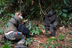 Photographer  and lowland gorilla. Royalty Free Stock Image