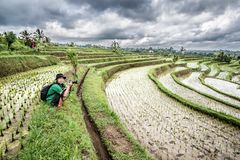 Photographer photographing paddy field in jatiluwih, bali, Indonesia stock photos