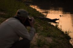 Photographer shooting yacare caiman on river bank Royalty Free Stock Photography