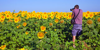 Photographer in a Sunflower Field. Young male photographing sunflower on an early morning in Bulgaria Stock Images