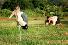 The photographer takes pictures of the marabou bird . Africa. Royalty Free Stock Image