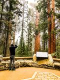 Photographer Taking a Photot of General Sherman in Kings Canyon Park royalty free stock images