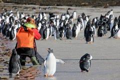 Photographer taking pictures of Gentoo penguins, Saunders, Falkland Islands
