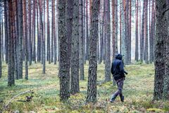 Photographer walking in forest. Of pine trees Royalty Free Stock Image