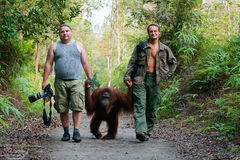 Photographers walk with orangutan. Stock Photo