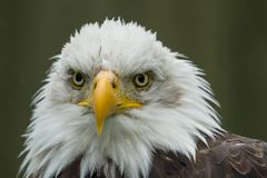 Photographic portrait of an American Bald Eagle Stock Image