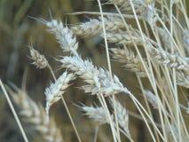 Photographie abstraite de blé Photo stock