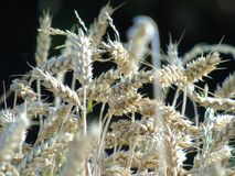 Photographie abstraite de blé Photo libre de droits