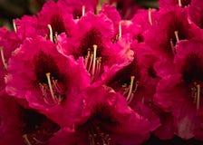Photographie couleur cerise de rhododendron, Rhod vibrant frais Photographie stock libre de droits