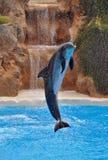 Photographie d'animaux Le jeune acrobate de dauphin démontrent leur ski Photos stock