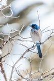 Photographie d'oiseau d'hiver - l'oiseau bleu sur la neige a couvert l'arbre de buisson photos libres de droits
