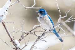 Photographie d'oiseau d'hiver - l'oiseau bleu sur la neige a couvert l'arbre de buisson photographie stock