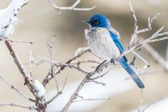Photographie d'oiseau d'hiver - l'oiseau bleu sur la neige a couvert l'arbre de buisson photographie stock libre de droits