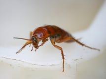 Photographie d'un grand scarabée rouge au bord du récipient en plastique blanc Image libre de droits