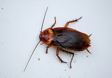 Photographie d'un grand scarabée rouge au bord du récipient en plastique blanc Photographie stock libre de droits