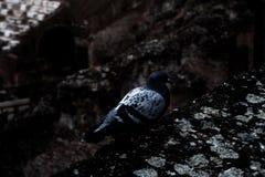 Photographie d'une colombe dans le Colisé romain photo libre de droits