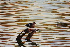 Photographie de canard Image stock