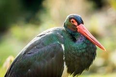 Photographie de cigogne noire Images libres de droits