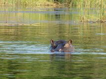 PHOTOGRAPHIE DE FAUNE AU BOTSWANA images stock