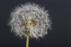Photographie de fleur de pissenlit macro avec le fond foncé Photo libre de droits