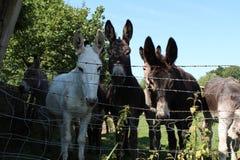 Photographie de foyer des ânes image stock
