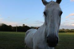Photographie de foyer de visage de cheval image libre de droits