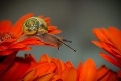Photographie de macro d'escargot Photo stock