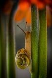 Photographie de macro d'escargot Image stock