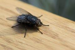 Photographie de macro de mouche d'insecte Image stock
