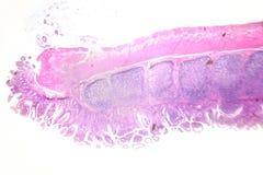 Photographie de microscopie Grand intestinal Section transversale photographie stock libre de droits