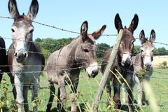 Photographie de plan rapproché des ânes photos stock