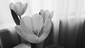 Photographie des tulipes blanches sur la table Foyer peu profond n Photographie stock libre de droits