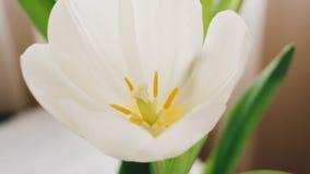 Photographie des tulipes blanches sur la table Foyer peu profond n Image libre de droits