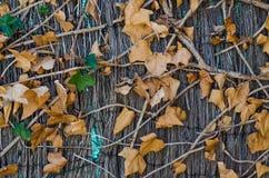 Photographie des vignes d'un fond avec les feuilles brunes photos stock