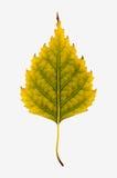 Photographie en gros plan d'un isolant automnal de flétrissement de feuille d'arbre de bouleau Photos libres de droits