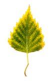 Photographie en gros plan d'un isolant automnal de flétrissement de feuille d'arbre de bouleau Photo libre de droits