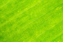 Photographie en gros plan des feuilles fraîches de banane photos libres de droits