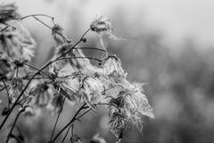 Photographie noire et blanche atmosphérique d'herbe d'automne Photographie stock libre de droits