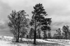 Photographie noire et blanche atmosphérique de pin et de bouleau Photo stock