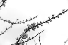 Photographie noire et blanche avec la prune de fleurs contre le ciel Image libre de droits