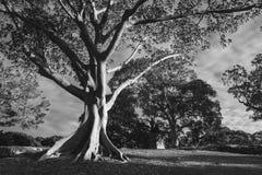 Photographie noire et blanche d'arbre de gomme dans l'espace vert Image stock