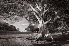 Photographie noire et blanche d'arbre de gomme dans l'espace vert Images libres de droits