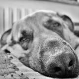 photographie noire et blanche d'un beau visage d'un chien somnolent photo stock