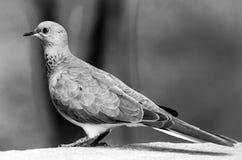 Photographie noire et blanche d'une colombe se reposant sur le coin d'un mur images libres de droits