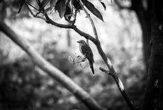 Photographie sauvage de la vie d'oiseau de Nightangel Photographie stock