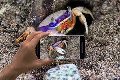 Photographing crab at the beac. Stock Photography