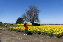 Photographing daffodils. SKAGIT VALLEY, WA - APRIL 07, 2012: a woman is photographing daffodils in a nice sunny warm day at the daffodils festival in Skagit Stock Image