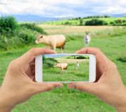 Photographing farm animals Royalty Free Stock Image